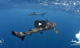 Cabo Shark Dive – CaboViVO Style